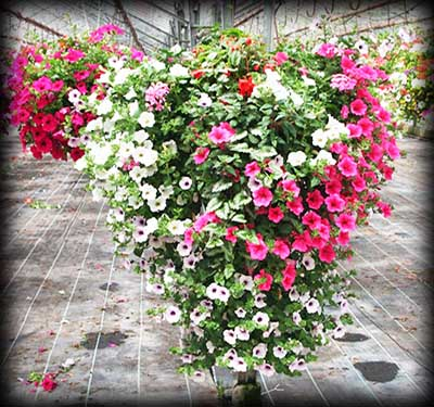 trailing hanging baskets of flowers