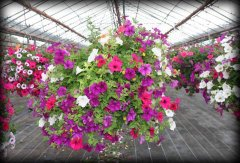 bloomingbaskets_hangingbaskets_dublin.jpg