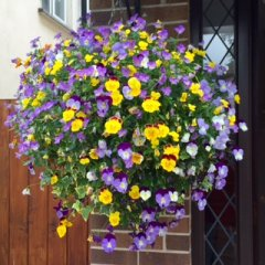 violas-hanging_baskets_windowbox.JPG