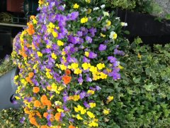violas-window-boxes-of-flowers-ireland.JPG